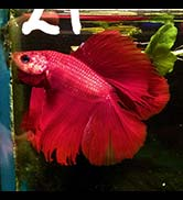 Betta splendens double tail