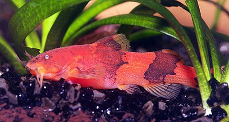 Akysis vespa rouge