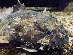 Allenbatrachus grunniens