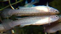 Anablepsoides holmiae