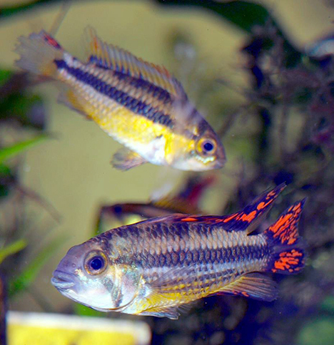 couple Apistogramma cacatuoides super red (double rouge)