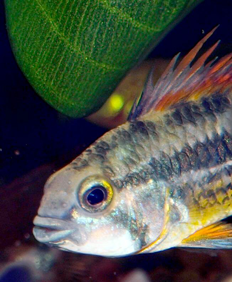 Apistogramma cacatuoides super red (double rouge)
