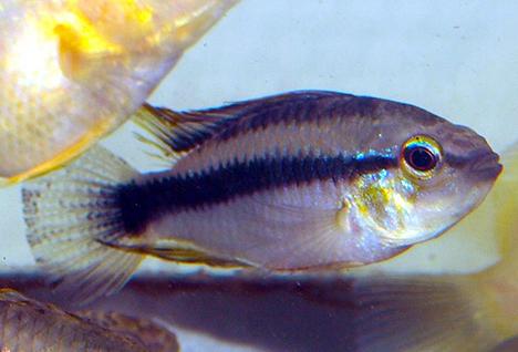 Apistogramma erythrura (ex. sp. mamore) mâle