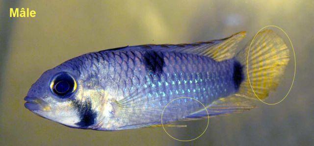 apistogramma hippolytae mâle