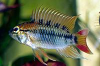 apistogramma macmasteri mâle