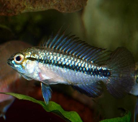 Apistogramma trifasciata mâle puis femelle
