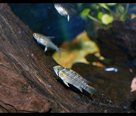 Apistogramma tucurui couple