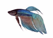 Betta splendens long tail