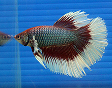 Betta splendens delta tail