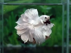 betta splendens rosetail