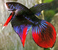 Betta splendens roundtail