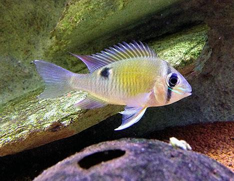 Biotodoma cupido mâle