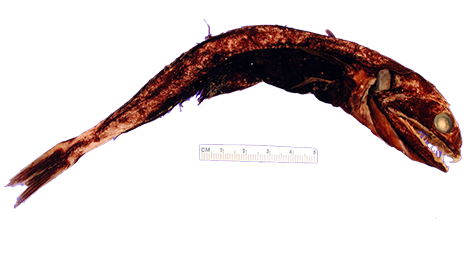 Chiasmodon niger