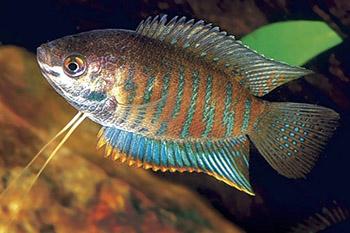 colisa fasciata mâle puis femelle