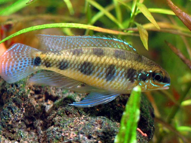 Dicrossus maculatus