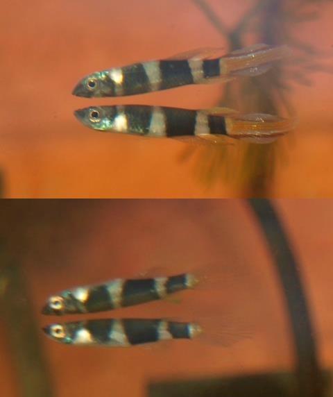 mâle et femelle epiplatys annulatus