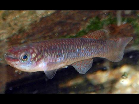 Fundulopanchax gardneri gardneri femelle