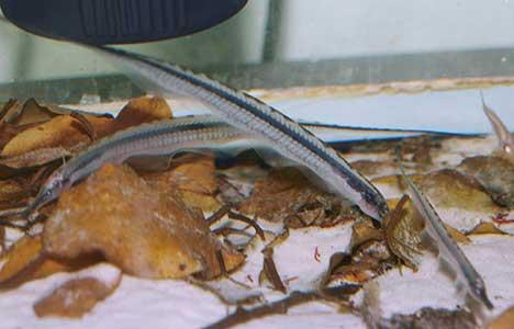 Gymnorhamphichthys rondoni