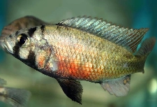 haplochromis limax