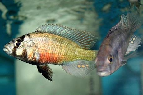 couple d'Haplochromis limax