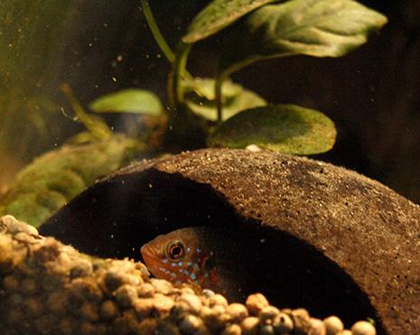 hemichromis bimaculatus femelle dans sa demi coque de noix de coco