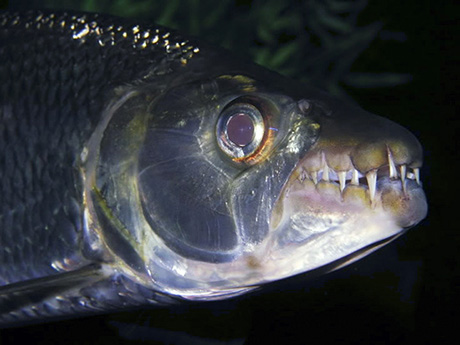 Hydrocynus goliath dentition