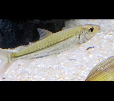 hydrocinus vittatus