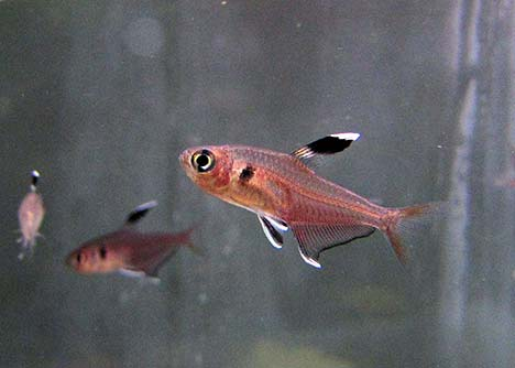 Hyphessobrycon copelandi