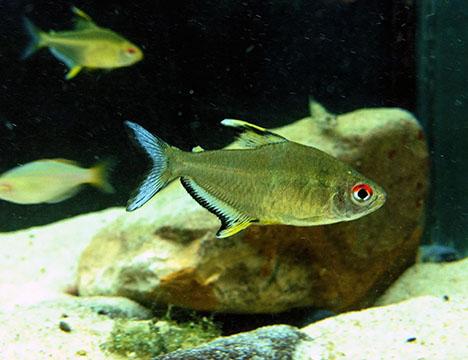 Hyphessobryson pulchripinnis