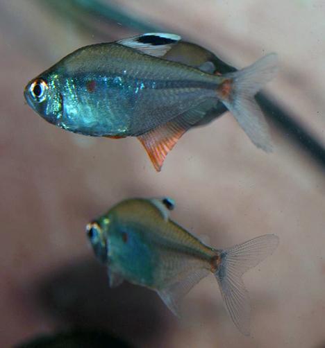 Hyphessobrycon socolofi