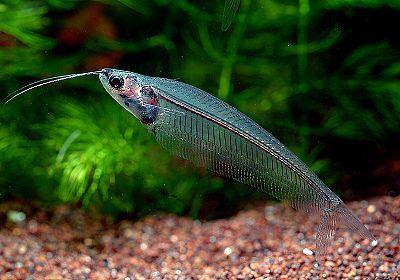 Kryptopterus bicirrhis aquarium et poissons rares