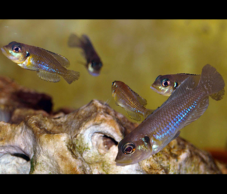 Lamprologus kungweensis groupe