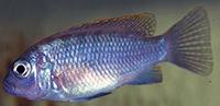 Maylandia fainzilberi bleu