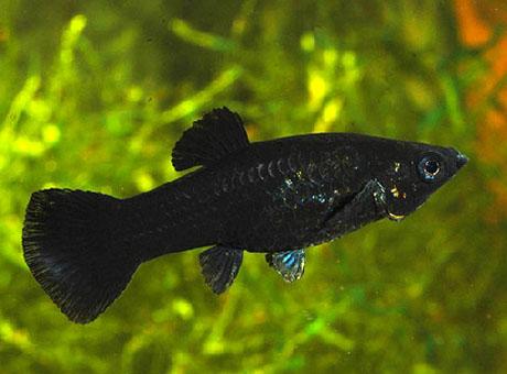 black molly poecilia shenops
