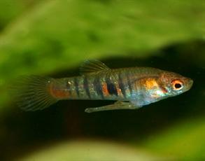 neoheterandria elegans mâle