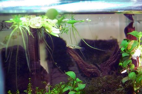 neoheterandria elegans femelle