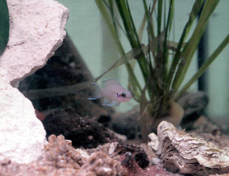 Neolamprologus brichardi biotope rocheux