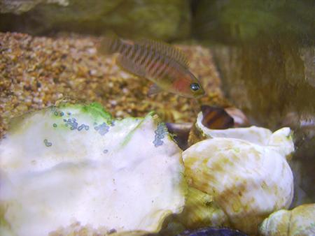 Une femelle neolamprologus multifasciatus puis son petit quittant légérement sa coquille