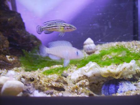 Neolamprologus multifasciatus & Julidochromis regani