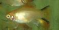 xiphophorus maculatus platy gold comete