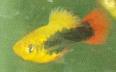 xiphophorus maculatus platy hawai