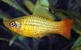 Xiphophorus maculatus platy perroquet