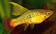 xiphophorus maculatus platy perroquet voile