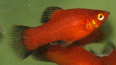 xiphophorus maculatus platy rouge wagtail