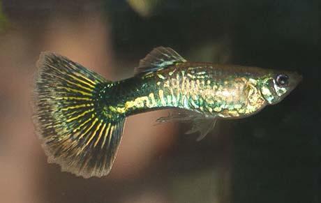 poecilia reticula Guppu mâle mosaic
