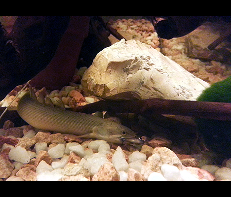 polypterus senegalus