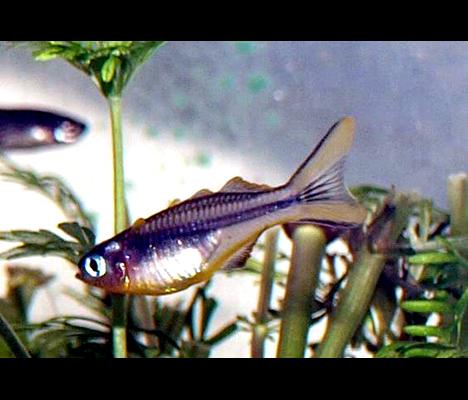 Popondichthys furcatus, Pseudomugil furcatus