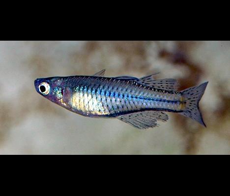 Pseudomugil gertrudae