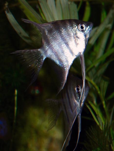 Pterophyllum leopoldi