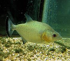 Serrasalmus rhombeus, le piranha noir
